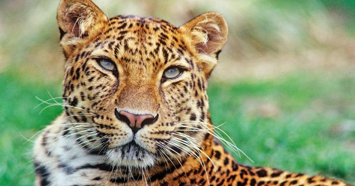 WWF vilde dyr amur leopard David Lawson WWF UK