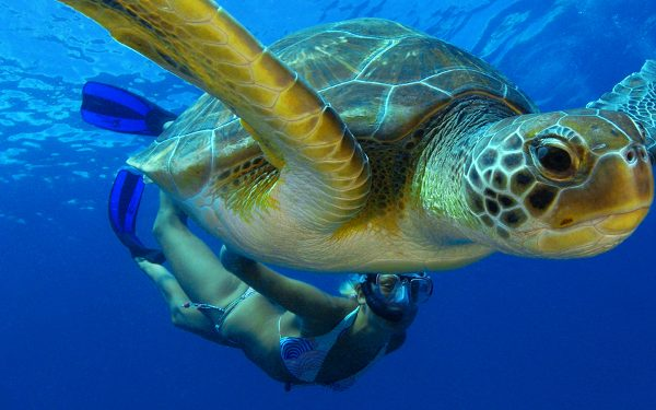 Decades of hard work to protect sea turtles are now paying off. A number of countries report larger numbers of these armoured but vulnerable creatures.